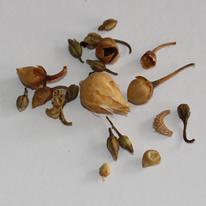 Anís en Grano Sancho - Impurezas - Flores varias